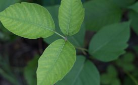 Rhus toxicodendron in Omeopatia